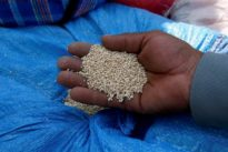Genetic study may make ancient Incas quinoa a grain of the future