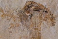Un champignon du temps des dinosaures découvert au Brésil