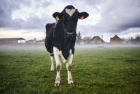 Pour une nouvelle alliance entre animaux, éleveurs etmangeurs