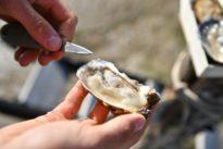 L'huître, victime symbolique du climat