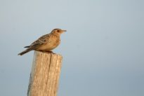 Piégeage des oiseaux: comment sont établis les quotas de prélèvement?