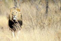 Lutte anti-braconnage : espoir pour les lions, éléphants et girafes d'Afrique de l'Ouest
