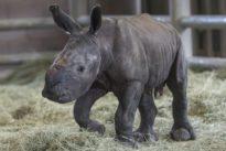 Le bébé rhino, l'insémination artificielle et la conservation