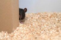 Oui, les rats aiment jouer à cache-cache