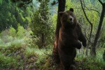 Mort de Cachou : «Dans les Pyrénées, l'ours rassure l'homme»