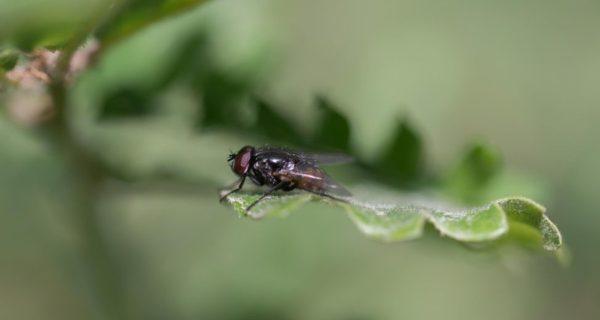 Musca la mouche, ou l'art de l'observation pour résister au laisser-faire